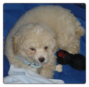 Toy Poodle Puppy - College Point Dog Training - Queens