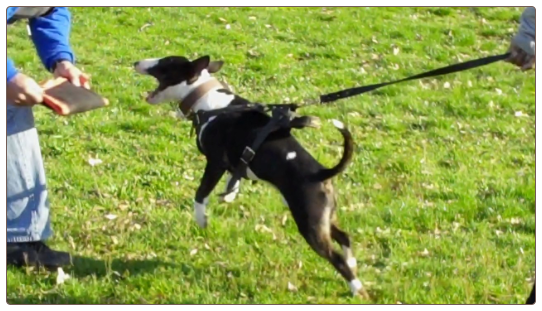 Mini Bull Terrier Protection Training
